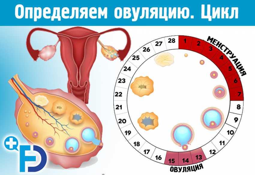 Овуляция и беременность