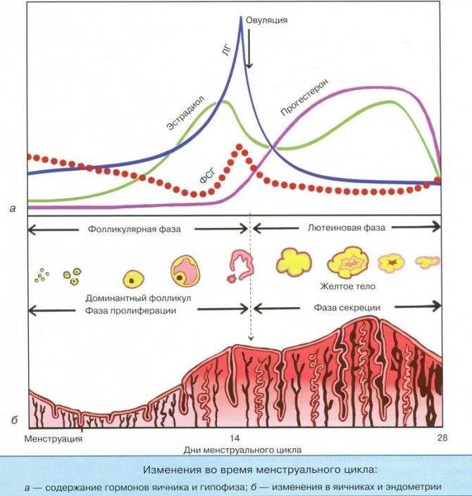 Фазы менструального цикла у женщин и их характеристика