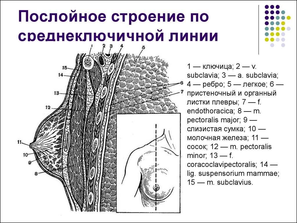 Молочная железа, ее функции, строение и заболевания