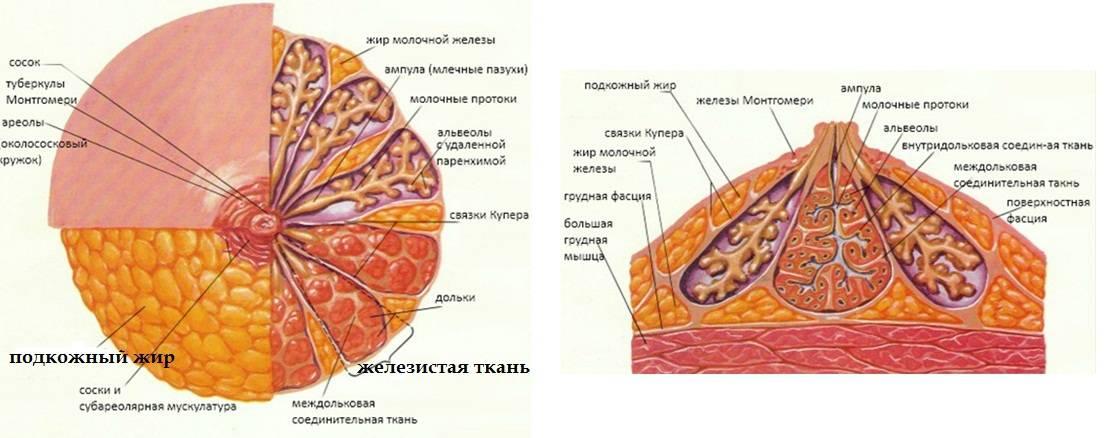 Разновидности женской груди, размеры, формы, анатомия, строение, функции, изменения