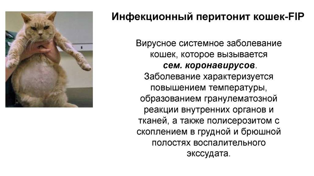 Пародонтоз у кошек: причины, симптомы, лечение