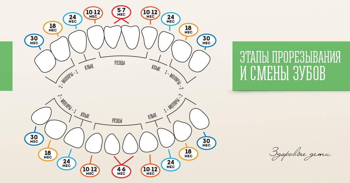 Зачатки коренных зубов у детей