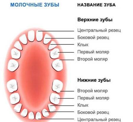 Количество молочных зубов у годовалого ребенка (таблица прорезывания)