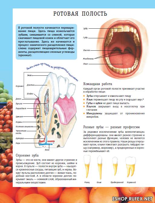 французский рот и зубы картинка названия яизиологии будущим мужем