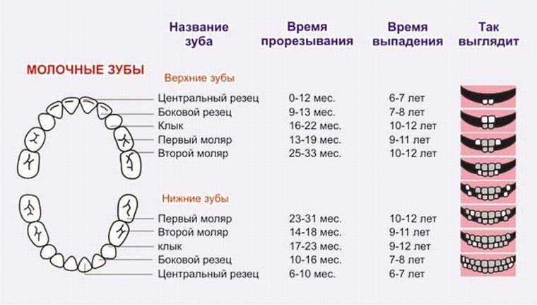 В какой последовательности прорезываются зубы у ребенка? схемы, таблицы и графики
