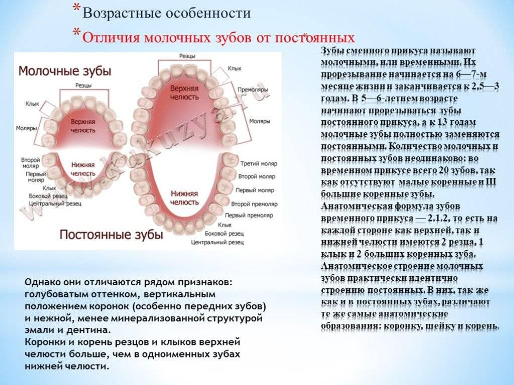 Понять какой зуб молочный коренной. пятый зуб молочный или коренной