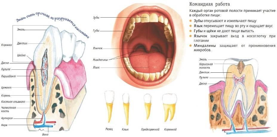 Ротовая полость. состав и функции слюны человека. строение зуба