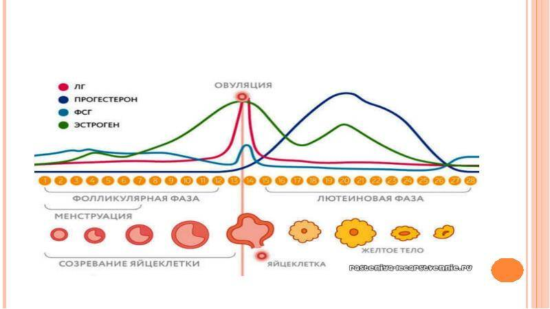 Характеристики второй фазы циклических изменений у женщин