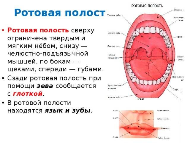 Рот человека анатомия