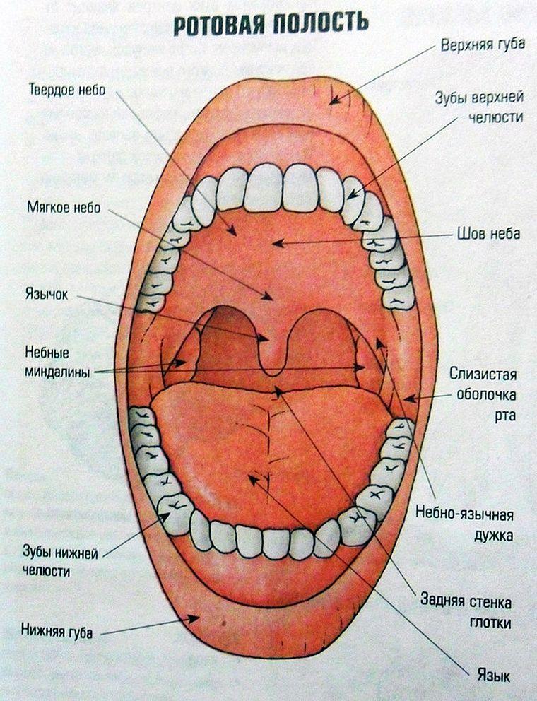 Что такое альвеолы во рту. где находятся альвеолы во рту? внешнее строение структурных единиц легочной ткани