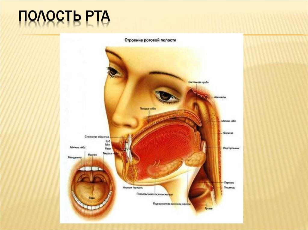 Анатомия полости рта человека: фото, описание строения органов ротовой полости, анатомические особенности