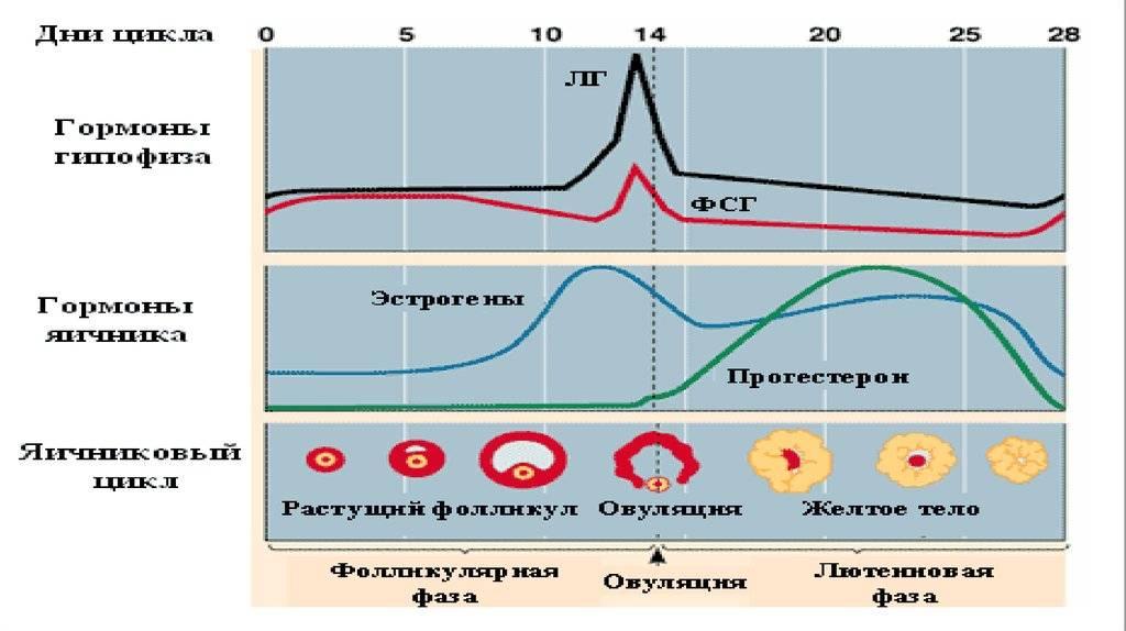 Фолликулярная фаза что это, на какой день цикла
