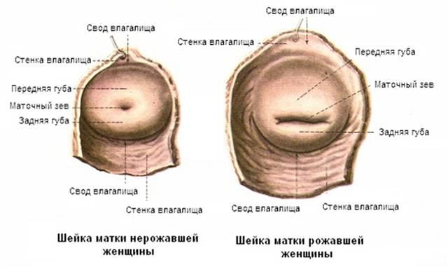Шейка матки во время беременности: нормы длины по неделям