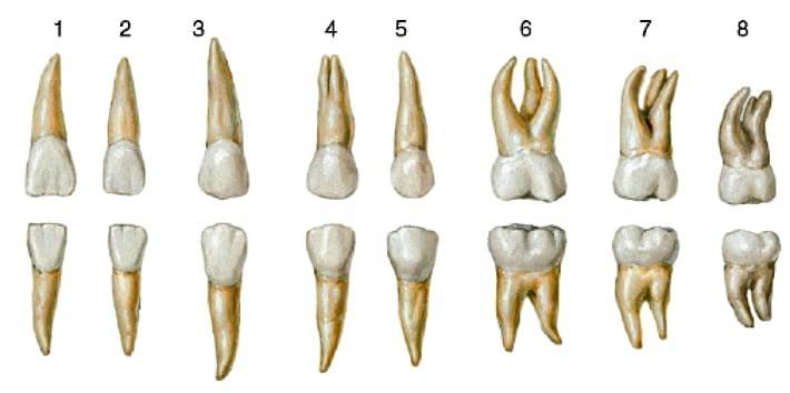 Сколько каналов и нервов в зубах, таблица