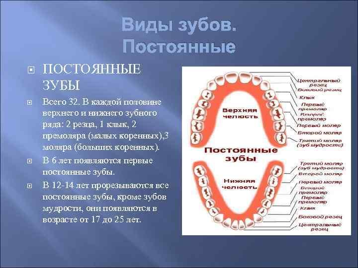 Какие зубы называются моляры