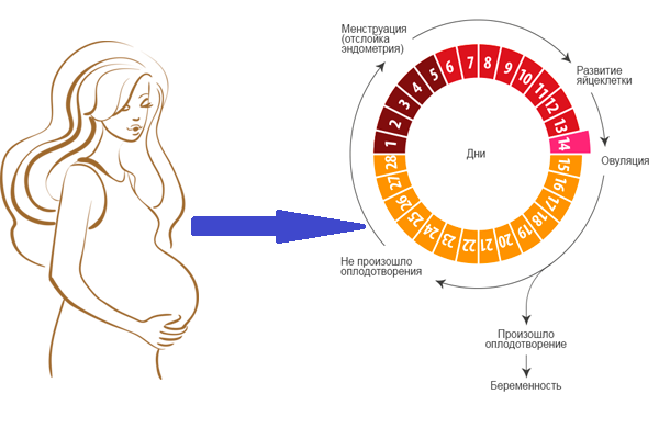 Восстановление месячных после родов — сроки и границы нормы